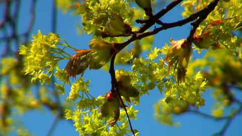 Linden flowers in the sky Footage