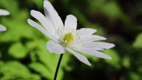 white flower anemone macro in spring wood Footage