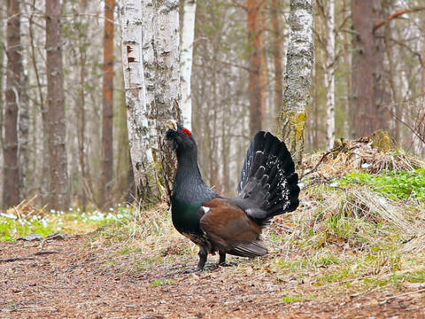 Capercaillie Guards Trail. 640x480 stock footage