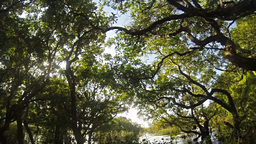 Mangrove forest Footage