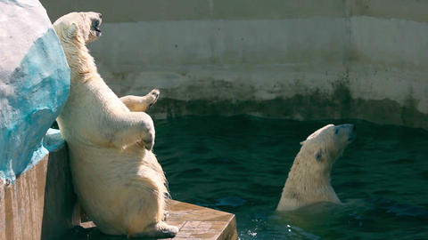 Polar bears Footage