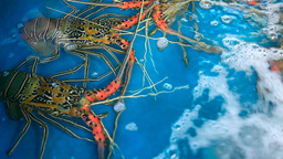 Spiny Lobster stock footage