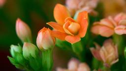 Blossom kalanchoe Footage