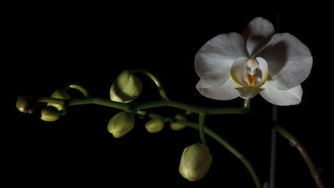 Time-lapse Of White Orchid Opening Footage