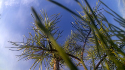 Tree A Pine At Sunny Day Against The Sky stock footage