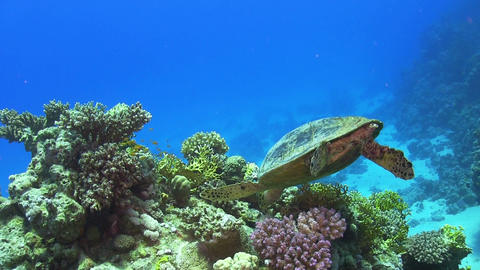 Turtle Swimming over Coral Reef Footage