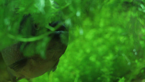 Lurking Sinister Pirana hiding in green 2 Footage