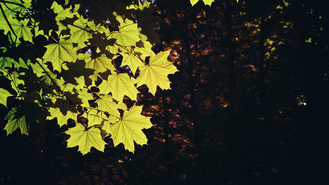 Autumn Leaves On A Tree stock footage