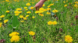 Hand gently caresses field flowers, dandelions Footage