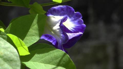 lila flower Stock Video Footage