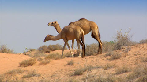 dromedary walk in desert Stock Video Footage
