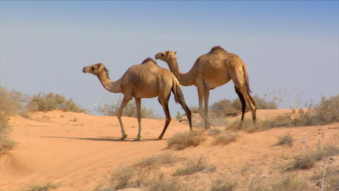 dromedary walk in desert Footage