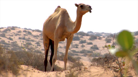 wild dromedary walk to camera Footage