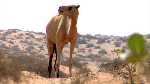 wild dromedary walk to camera Stock Video Footage