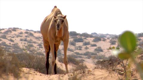 wild dromedary walk to camera Stock Video Footage