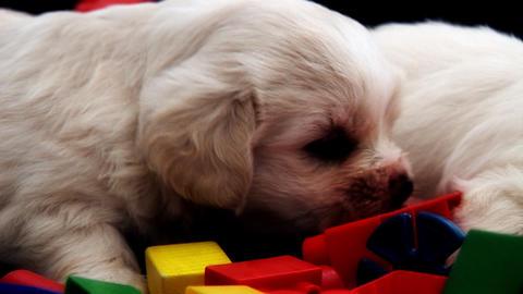 2 White Puppies Stock Video Footage