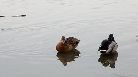 Duck in water with mirror Stock Video Footage