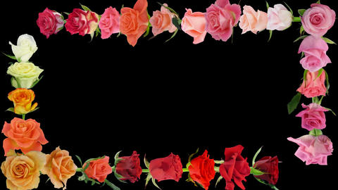 Montage of opening colorful roses time-lapse with alpha matte 7aa Animation