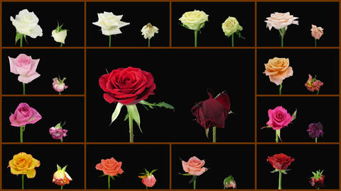 Montage opening and dying colorful roses wall 1a alpha matte Animation