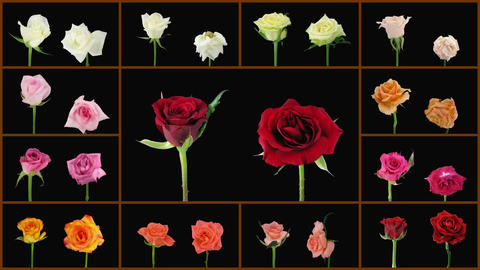 Montage opening and dying colorful roses wall 1a alpha matte Stock Video Footage