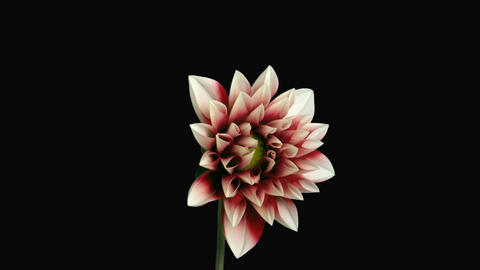 Time-lapse of blooming red-white dahlia with alpha matte 1c Stock Video Footage