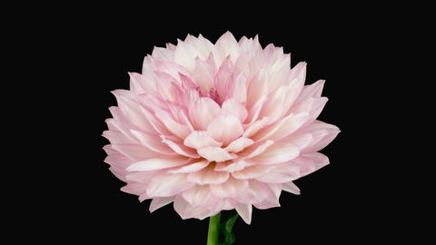 Time-lapse of blooming pink dahlia with alpha matte 3a Stock Video Footage