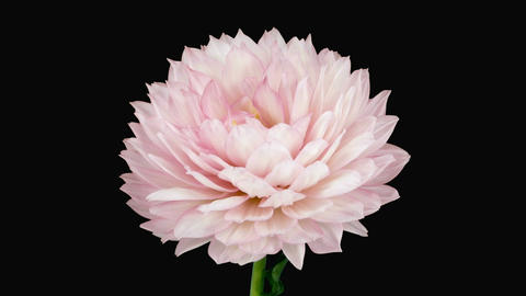 Time-lapse of blooming pink dahlia with alpha matte 3a Footage