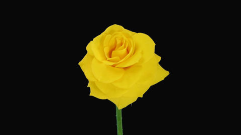 """Time-lapse of dying """"Golden Gate"""" rose with alpha matte 4 Stock Video Footage"""