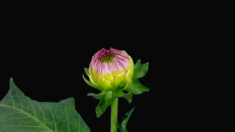 Time-lapse of blooming pink dahlia with alpha matte 3 Stock Video Footage