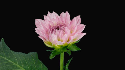 Time-lapse of blooming pink dahlia with alpha matte 3 Footage