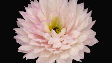 Time-lapse of dying pink dahlia 6a with ALPHA matte Stock Video Footage
