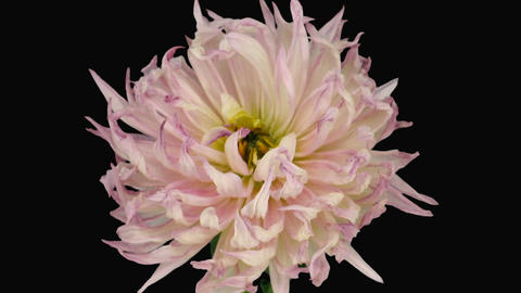 Time-lapse of dying pink dahlia 6a with ALPHA matte Footage