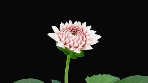 Time-lapse of opening pink dahlia with alpha matte 7a Stock Video Footage