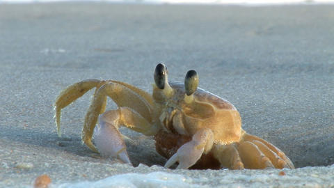 Crab and Tide Stock Video Footage