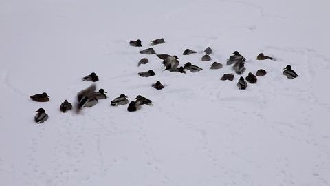 1591 Duck Snow TL HD J96 Stock Video Footage