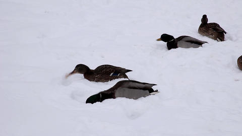 1666 Duck Snow Macro HD J96 Stock Video Footage