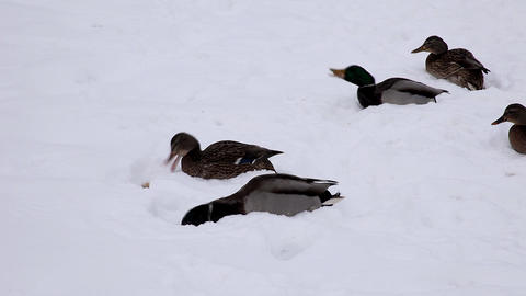 1666 Duck Snow Macro HD J96 Stock Video Footage