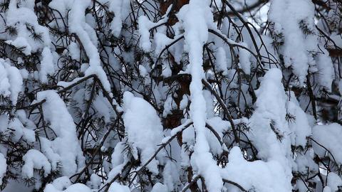 pan on fir under snow Stock Video Footage