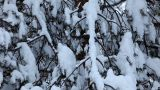 Pan On Fir Under Snow stock footage