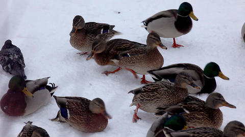 Pan ducks on the snow Stock Video Footage