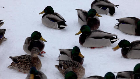 Pan ducks on the snow Stock Video Footage