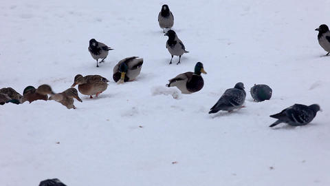 Duck and crow fight for food Stock Video Footage