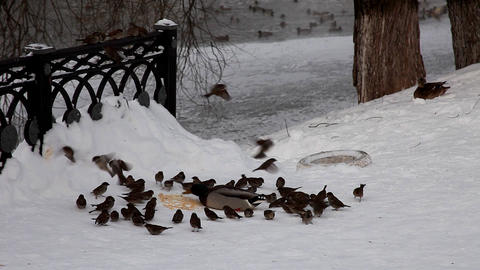 duck and sparrow feed on snow Stock Video Footage