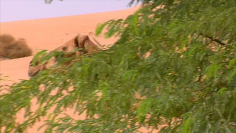 camel watch and walk Stock Video Footage
