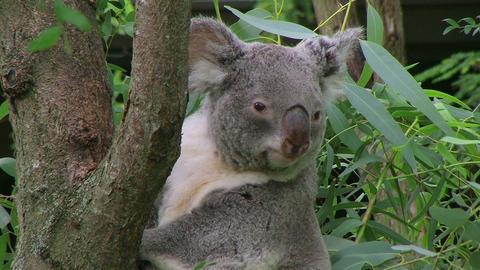 Koala Bear Climbing 02 Stock Video Footage