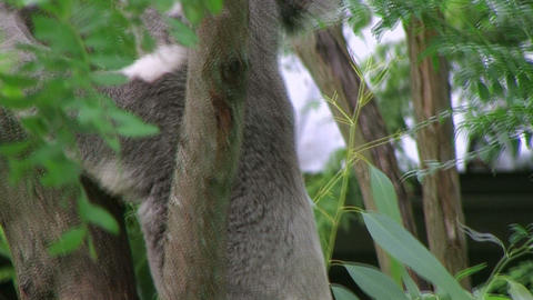 Koala Bear Climbing 02 Stock Video Footage