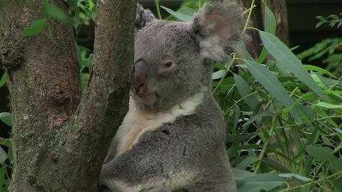 Koala Bear Looking Around Stock Video Footage