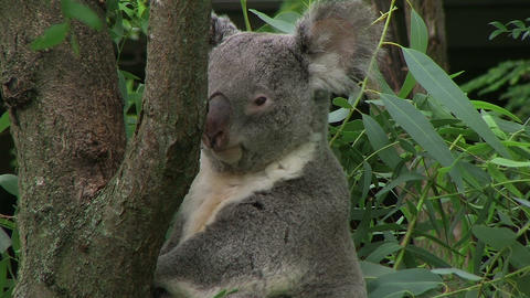Koala Bear Looking Around Stock Video Footage