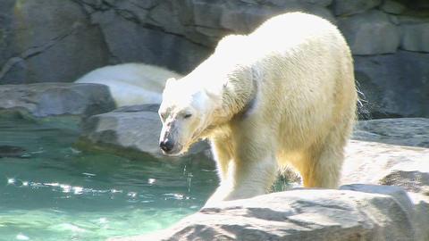 Polar Bear Shaking Off Water Stock Video Footage