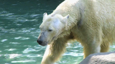 Polar Bear Shaking Off Water Stock Video Footage